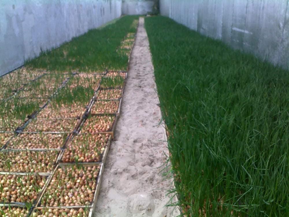 Прибыльное производство лук-пера