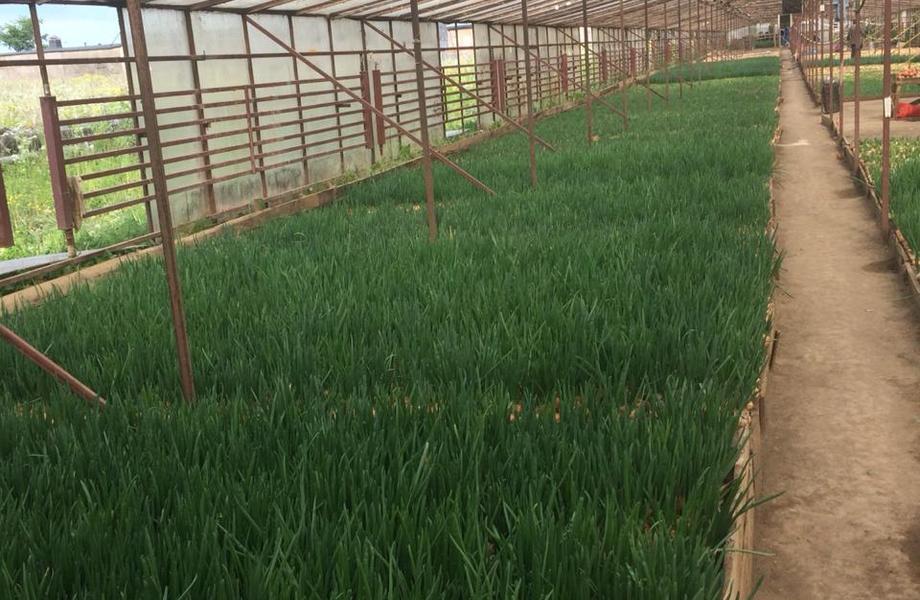 Луковая ферма I Стабильный высокий доход
